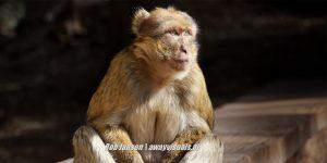 Marocco-Ifrane-Berber monkey